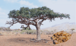 Weihrauchbaum in seiner natürlichen Umgebung